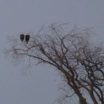 Haldimand-Norfolk - Eagles look on as nest is destroyed