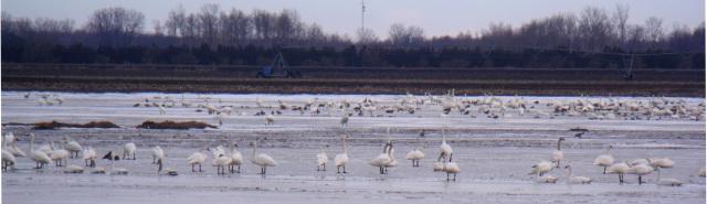swans-thedford-bog